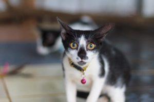 cat_kainchi
